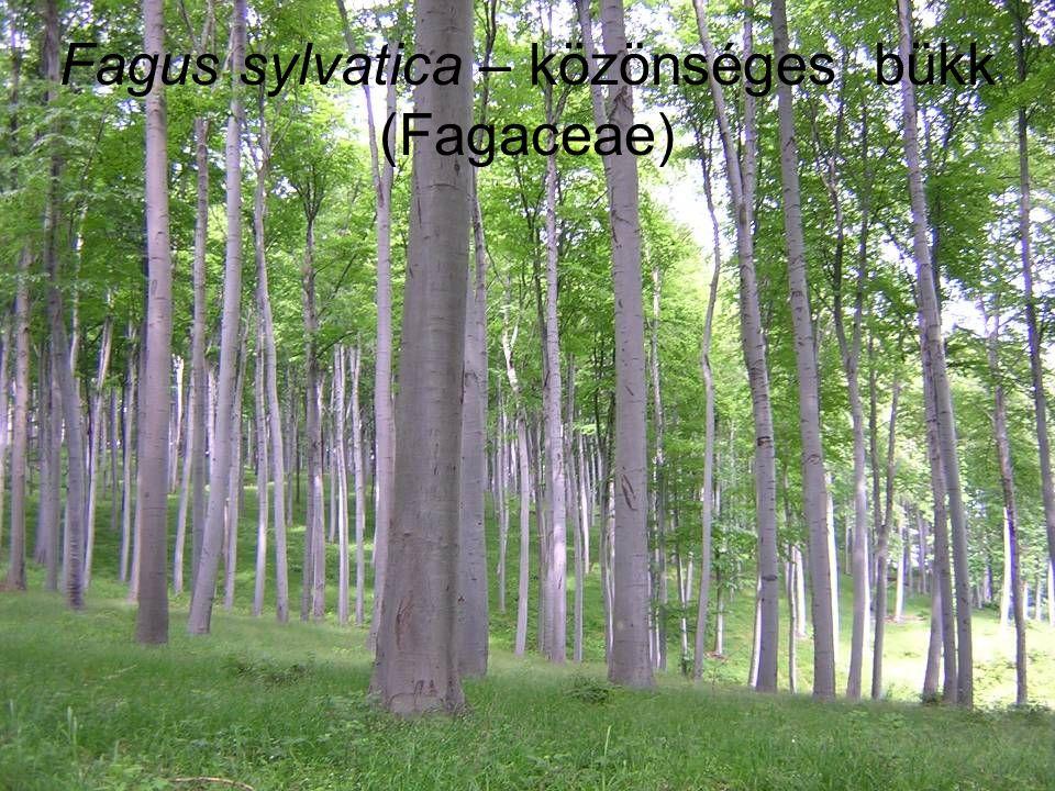 Fagus sylvatica – közönséges bükk (Fagaceae)