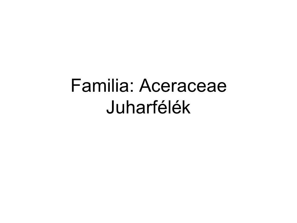 Familia: Aceraceae Juharfélék