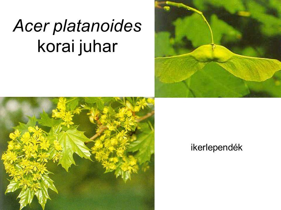 Acer platanoides korai juhar ikerlependék