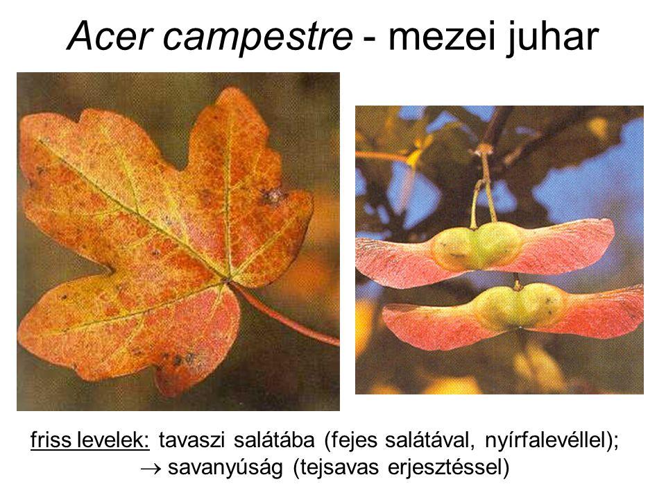 Acer campestre - mezei juhar friss levelek: tavaszi salátába (fejes salátával, nyírfalevéllel);  savanyúság (tejsavas erjesztéssel)