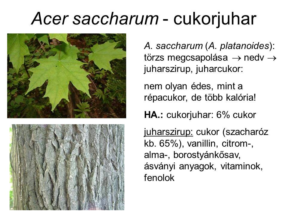 Acer saccharum - cukorjuhar A. saccharum (A. platanoides): törzs megcsapolása  nedv  juharszirup, juharcukor: nem olyan édes, mint a répacukor, de t