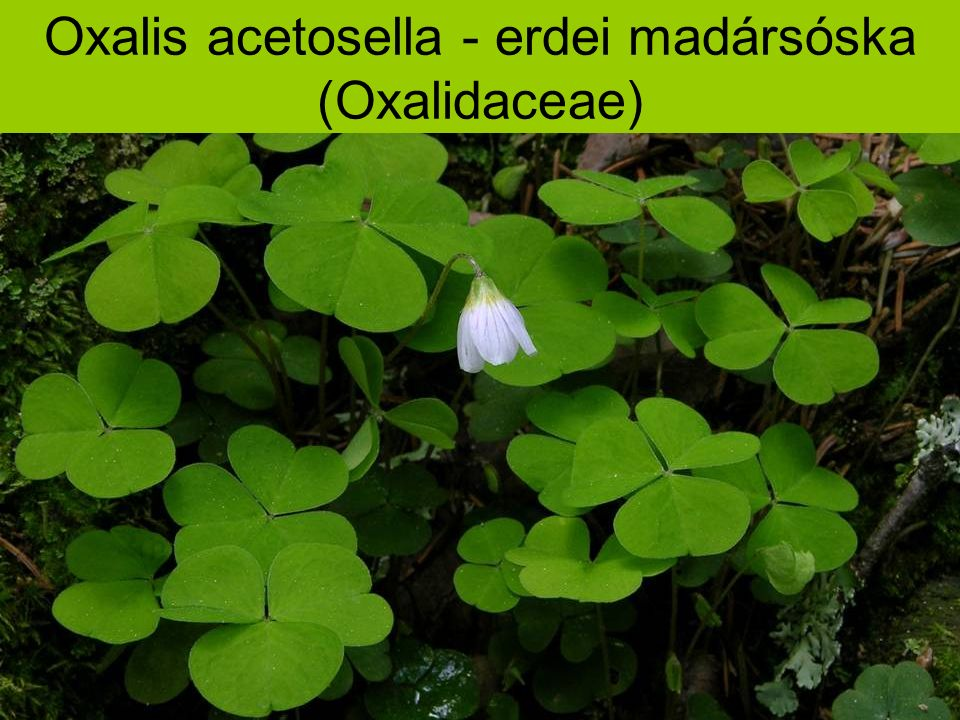 Oxalis acetosella - erdei madársóska (Oxalidaceae)