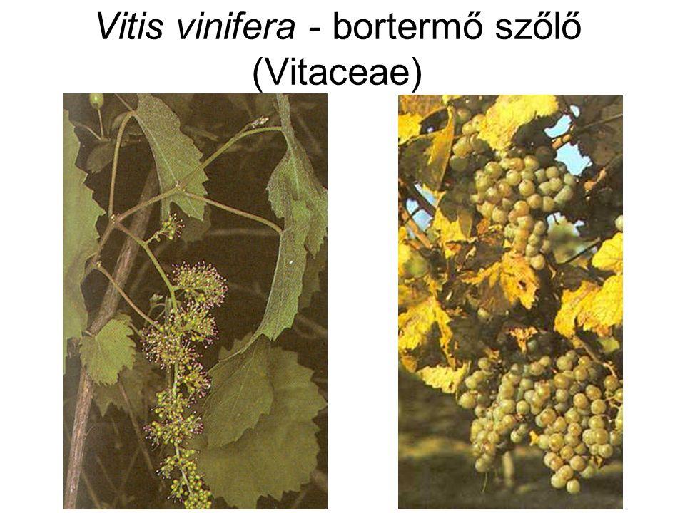 Vitis vinifera - bortermő szőlő (Vitaceae)