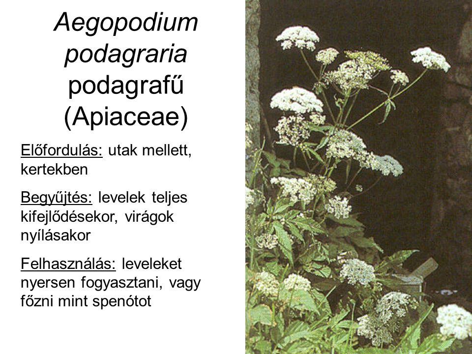 Aegopodium podagraria podagrafű (Apiaceae) Előfordulás: utak mellett, kertekben Begyűjtés: levelek teljes kifejlődésekor, virágok nyílásakor Felhaszná