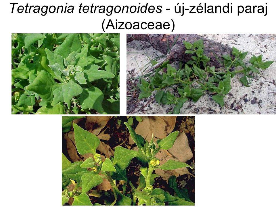 Familia: Portulacaceae Porcsinfélék húsos levelű, földreterülő gyomok dísz- és főzeléknövények nagy nyálkatartalom!