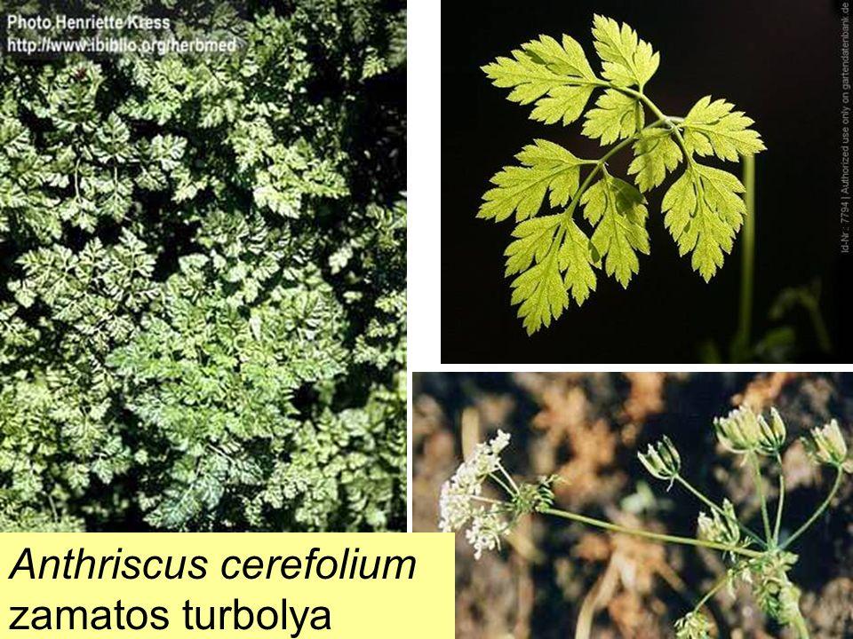 Anthriscus cerefolium zamatos turbolya