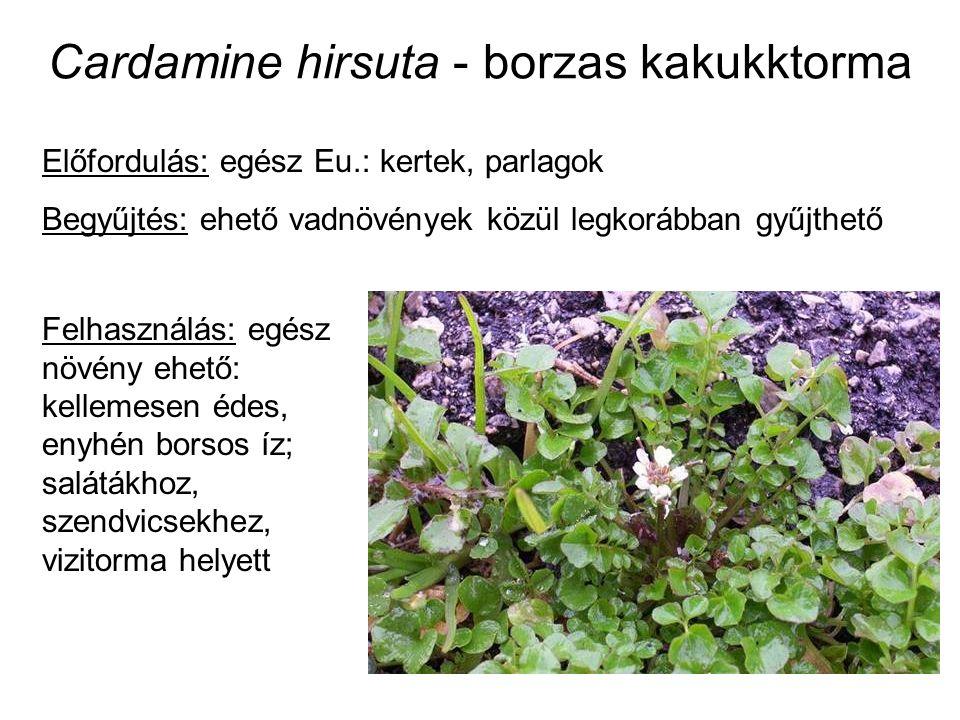 Cardamine hirsuta - borzas kakukktorma Előfordulás: egész Eu.: kertek, parlagok Begyűjtés: ehető vadnövények közül legkorábban gyűjthető Felhasználás:
