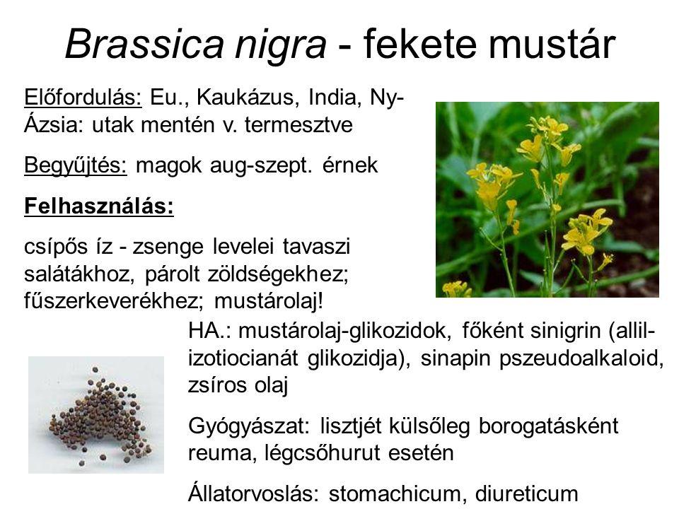 Brassica nigra - fekete mustár Előfordulás: Eu., Kaukázus, India, Ny- Ázsia: utak mentén v. termesztve Begyűjtés: magok aug-szept. érnek Felhasználás: