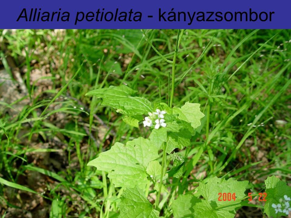Alliaria petiolata - kányazsombor