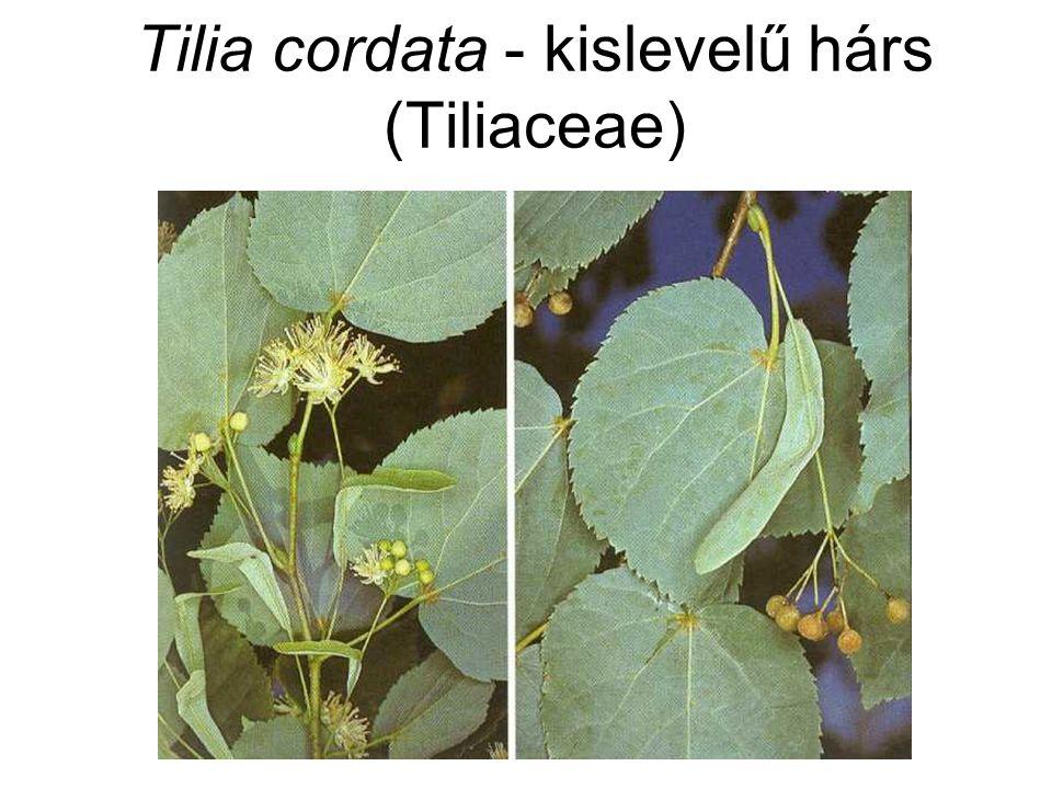Tilia cordata - kislevelű hárs (Tiliaceae)