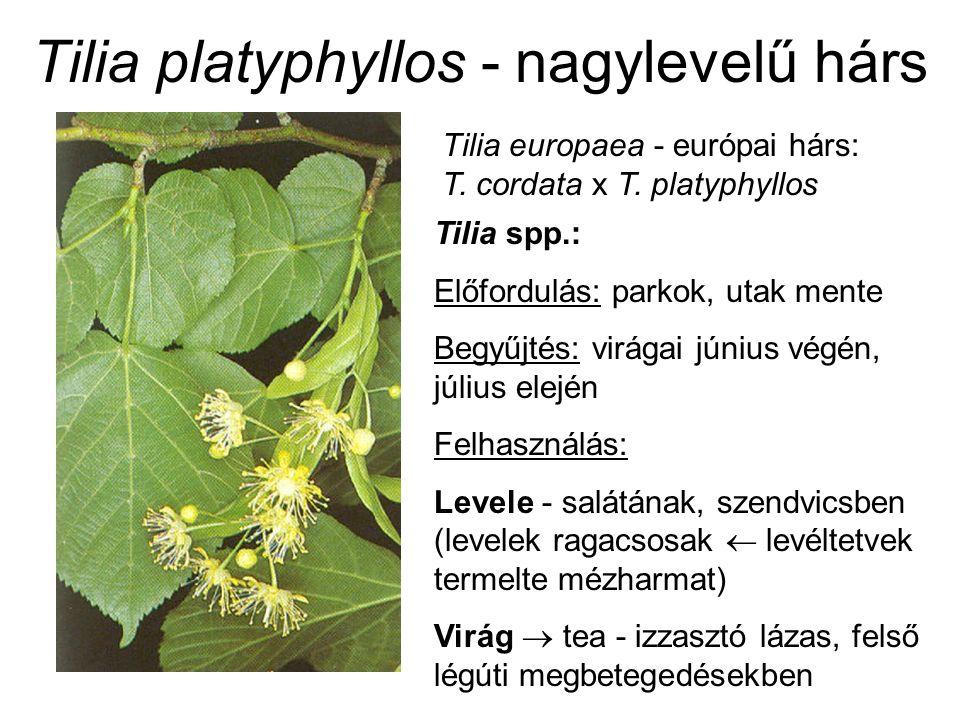Tilia platyphyllos - nagylevelű hárs Tilia europaea - európai hárs: T. cordata x T. platyphyllos Tilia spp.: Előfordulás: parkok, utak mente Begyűjtés