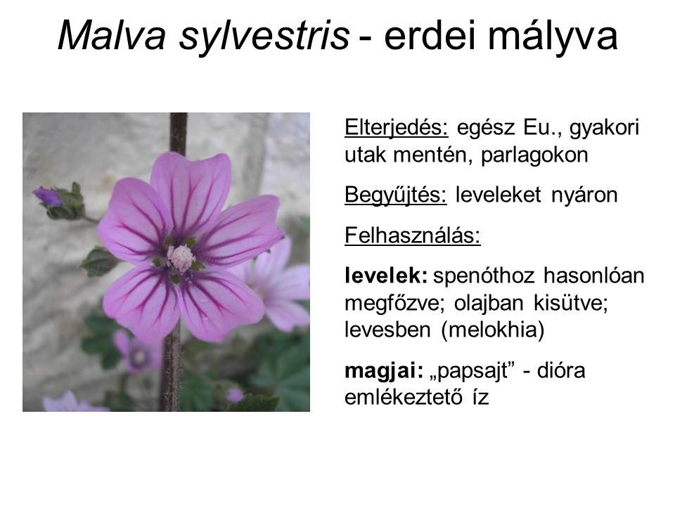 Malva sylvestris - erdei mályva Elterjedés: egész Eu., gyakori utak mentén, parlagokon Begyűjtés: leveleket nyáron Felhasználás: levelek: spenóthoz ha