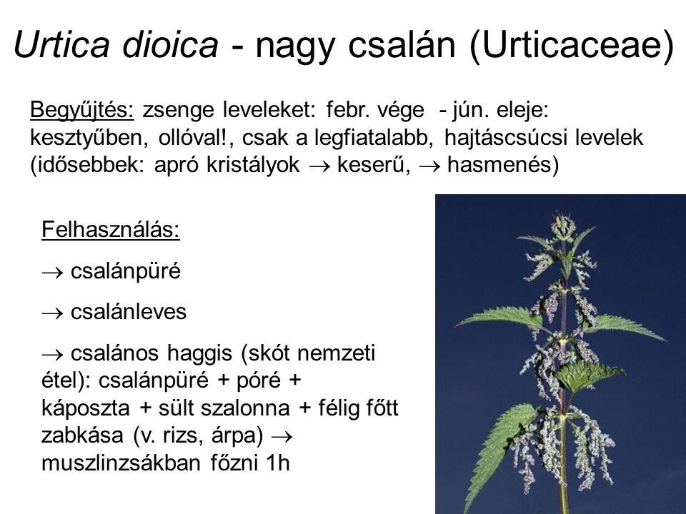 Urtica dioica - nagy csalán (Urticaceae) Begyűjtés: zsenge leveleket: febr. vége - jún. eleje: kesztyűben, ollóval!, csak a legfiatalabb, hajtáscsúcsi
