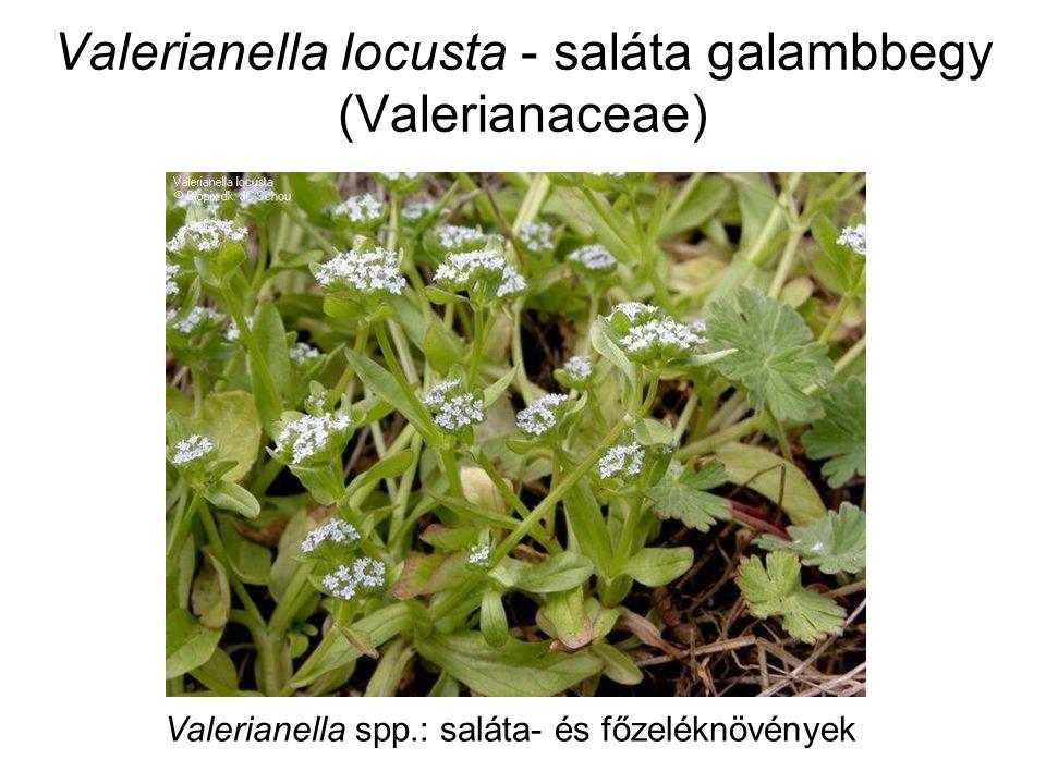 Valerianella locusta - saláta galambbegy (Valerianaceae) Valerianella spp.: saláta- és főzeléknövények