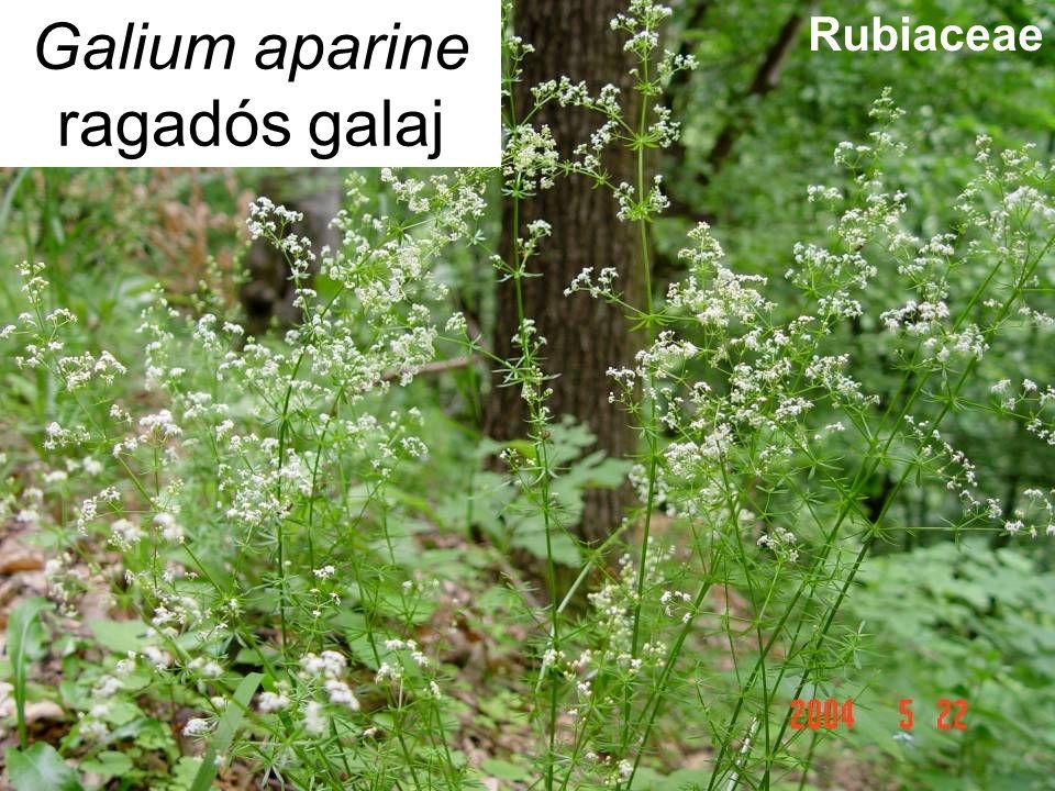 Galium aparine ragadós galaj Rubiaceae