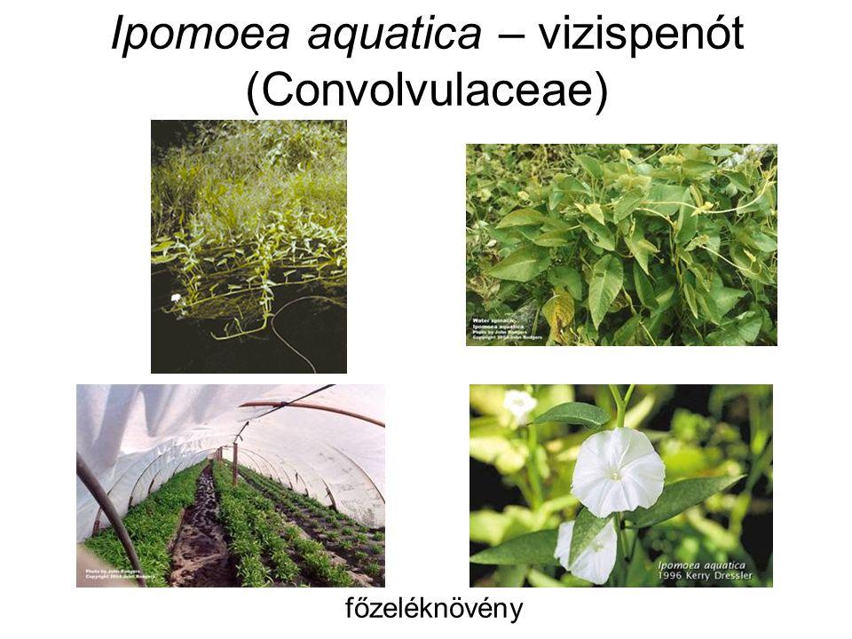 Ipomoea aquatica – vizispenót (Convolvulaceae) főzeléknövény