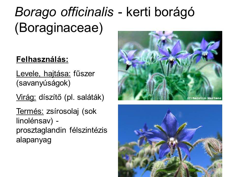 Borago officinalis - kerti borágó (Boraginaceae) Felhasználás: Levele, hajtása: fűszer (savanyúságok) Virág: díszítő (pl. saláták) Termés: zsírosolaj