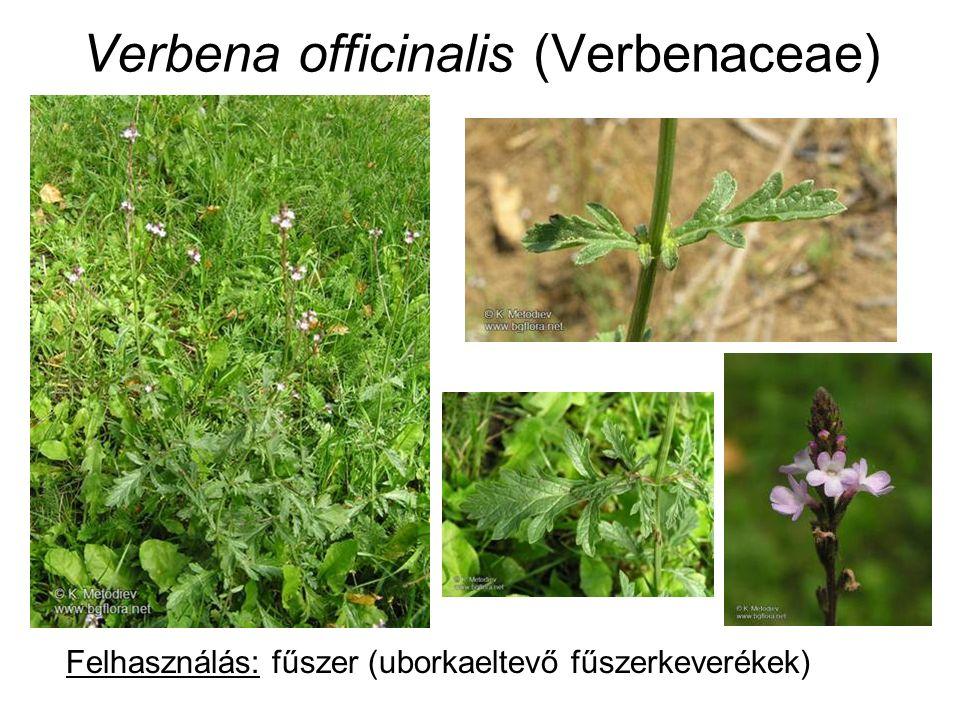 Verbena officinalis (Verbenaceae) Felhasználás: fűszer (uborkaeltevő fűszerkeverékek)