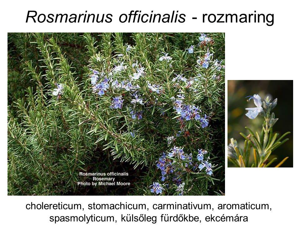 Rosmarinus officinalis - rozmaring cholereticum, stomachicum, carminativum, aromaticum, spasmolyticum, külsőleg fürdőkbe, ekcémára