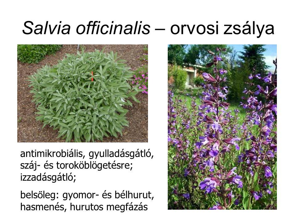 Salvia officinalis – orvosi zsálya antimikrobiális, gyulladásgátló, száj- és toroköblögetésre; izzadásgátló; bels ő leg: gyomor- és bélhurut, hasmenés