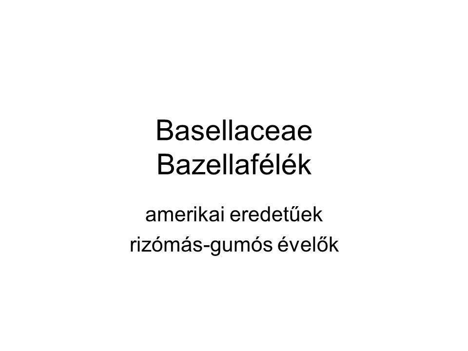 Basellaceae Bazellafélék amerikai eredetűek rizómás-gumós évelők