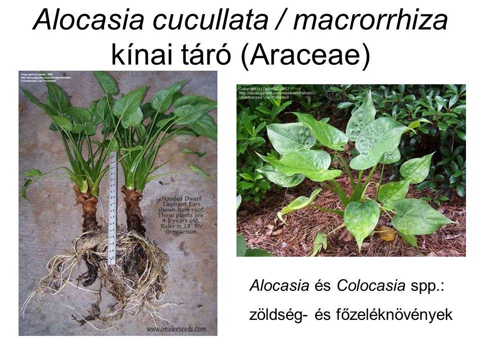 Alocasia cucullata / macrorrhiza kínai táró (Araceae) Alocasia és Colocasia spp.: zöldség- és főzeléknövények