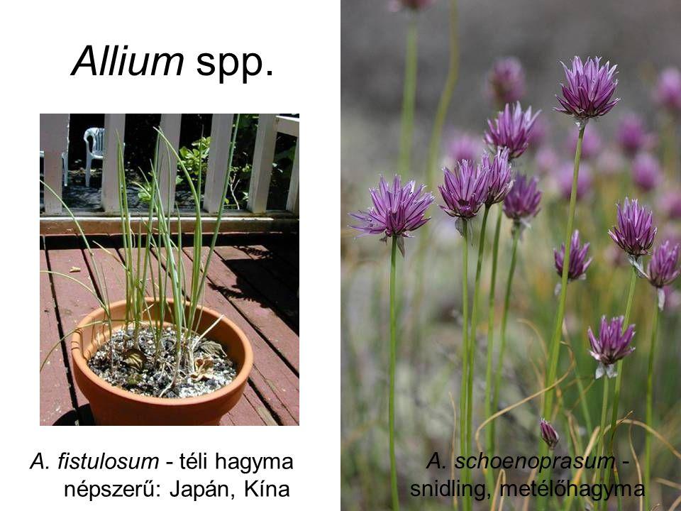Allium spp. A. fistulosum - téli hagyma népszerű: Japán, Kína A. schoenoprasum - snidling, metélőhagyma