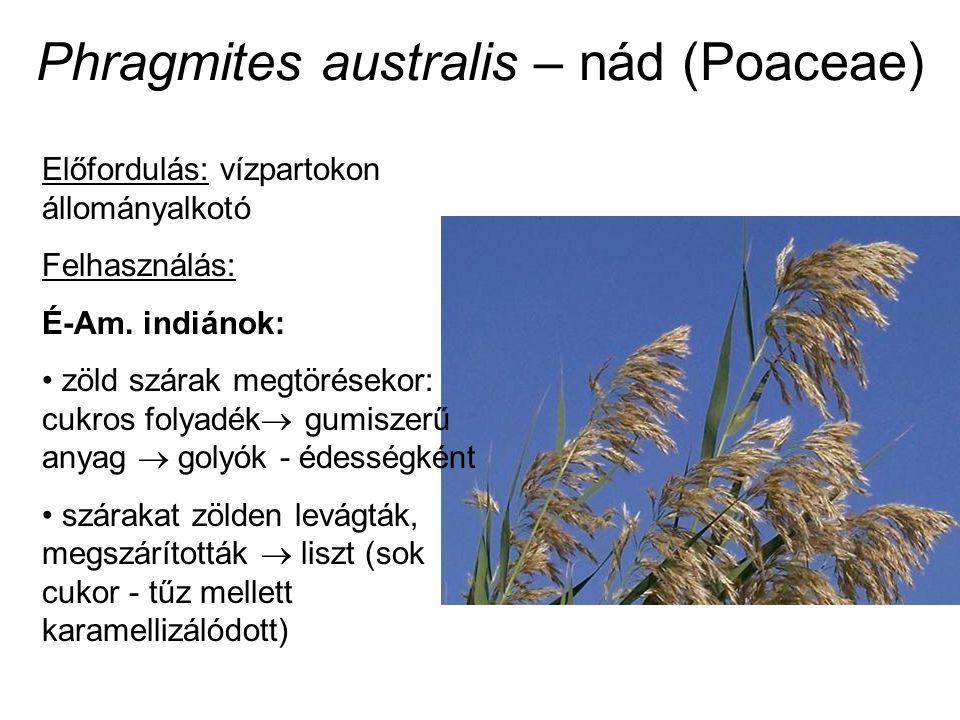 Phragmites australis – nád (Poaceae) Előfordulás: vízpartokon állományalkotó Felhasználás: É-Am. indiánok: zöld szárak megtörésekor: cukros folyadék 