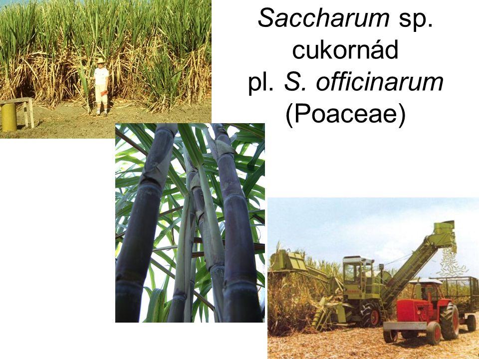 Saccharum sp. cukornád pl. S. officinarum (Poaceae)