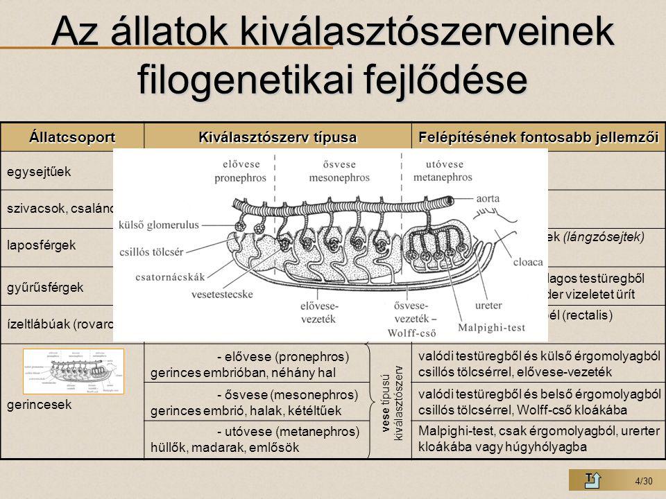 4/30 Az állatok kiválasztószerveinek filogenetikai fejlődése TÁllatcsoport Kiválasztószerv típusa Felépítésének fontosabb jellemzői vesécske típusú ki