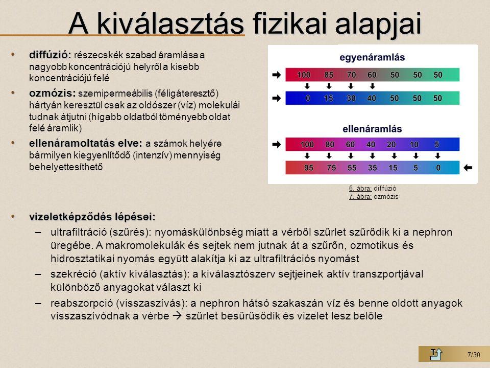 8/30 Glomerulusban: Glomerulusban: kilépő ér keresztmetszete kisebb, mint a belépő éré ezért ultrafiltráció 2,5 liter vér  180 liter szűrletElvezetőcsatorna: K + H + aktív transzport kiválasztás: penicillin, K +, H +, Na + aktív transzport visszaszívás: Na +, víz passzív transzport: víz, kanyarulatos csatorna kezdeti szakasza Na + Henle-kacs  koncentráció gradiens: Na + leadás  gyűjtőcsatornából vízvisszaszívás – leszálló ág – felszálló ág hajszálér hálózat (vasa recta) veszi közre a Henle-kacsot: segít az osmotikus gradiens kialak.
