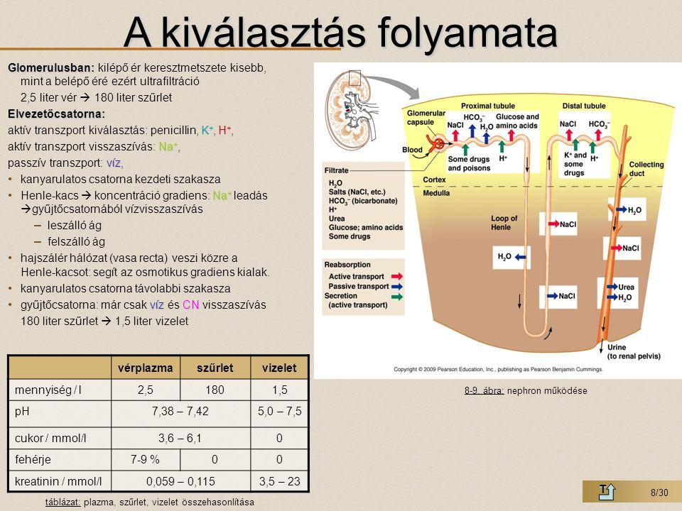 9/30 A kiválasztás és vizeletürítés szabályozása T  Kiválasztás:  Kiválasztás: nem igényel gyors válaszreakciót, könnyen, automatikusan szabályozható  tisztán hormonális –Vazopresszin: ADH (antidiuretikus hormon), oligopeptid 9 aminosavból, hipotalamusz nagysejtes magjaiban termelődik, vízvisszaszívás a distális tubulusban –ACTH: (adrenocorticotrop hormon), polipeptid 39 aminosavból, hipofízis, mellékvese kéreg serkentő hormon (főleg a mellékvese 2.