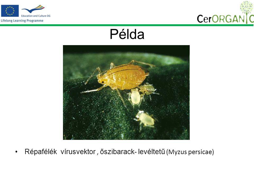 Példa Répafélék vírusvektor, őszibarack- levéltetű (Myzus persicae)