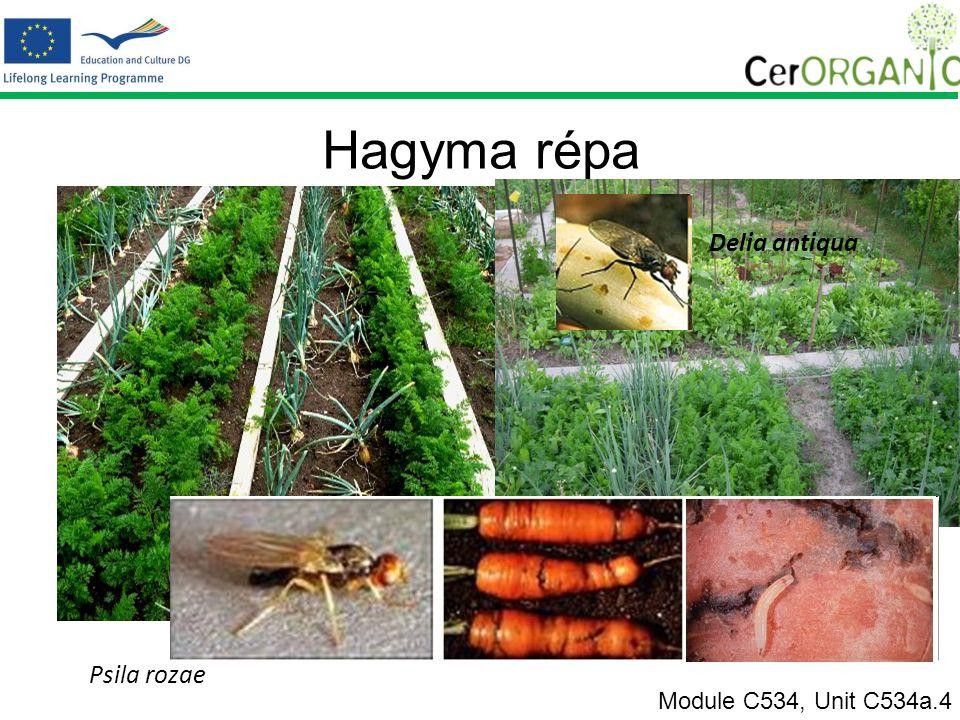 Hagyma répa Module C534, Unit C534a.4 Psila rozae Delia antiqua