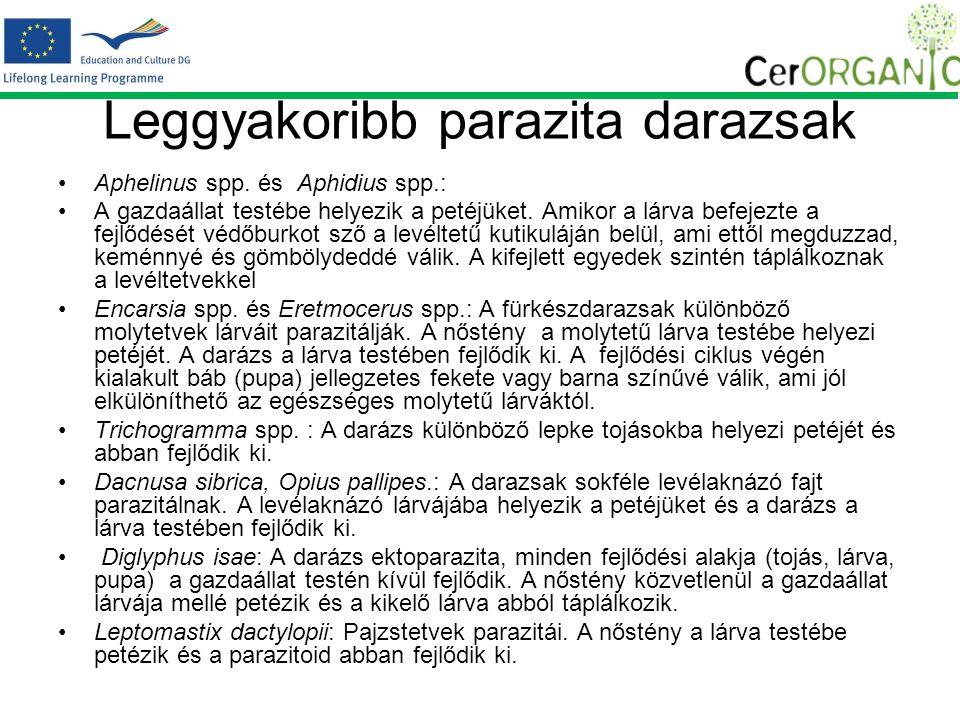 Leggyakoribb parazita darazsak Aphelinus spp.