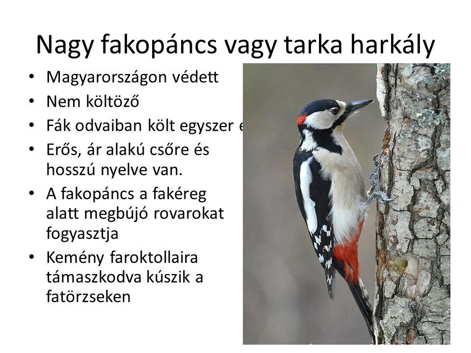 Nagy fakopáncs vagy tarka harkály Magyarországon védett Nem költöző Fák odvaiban költ egyszer évente Erős, ár alakú csőre és hosszú nyelve van.