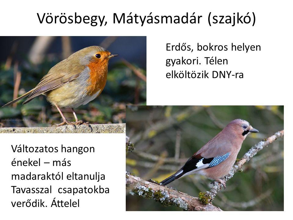 Vörösbegy, Mátyásmadár (szajkó) Erdős, bokros helyen gyakori.