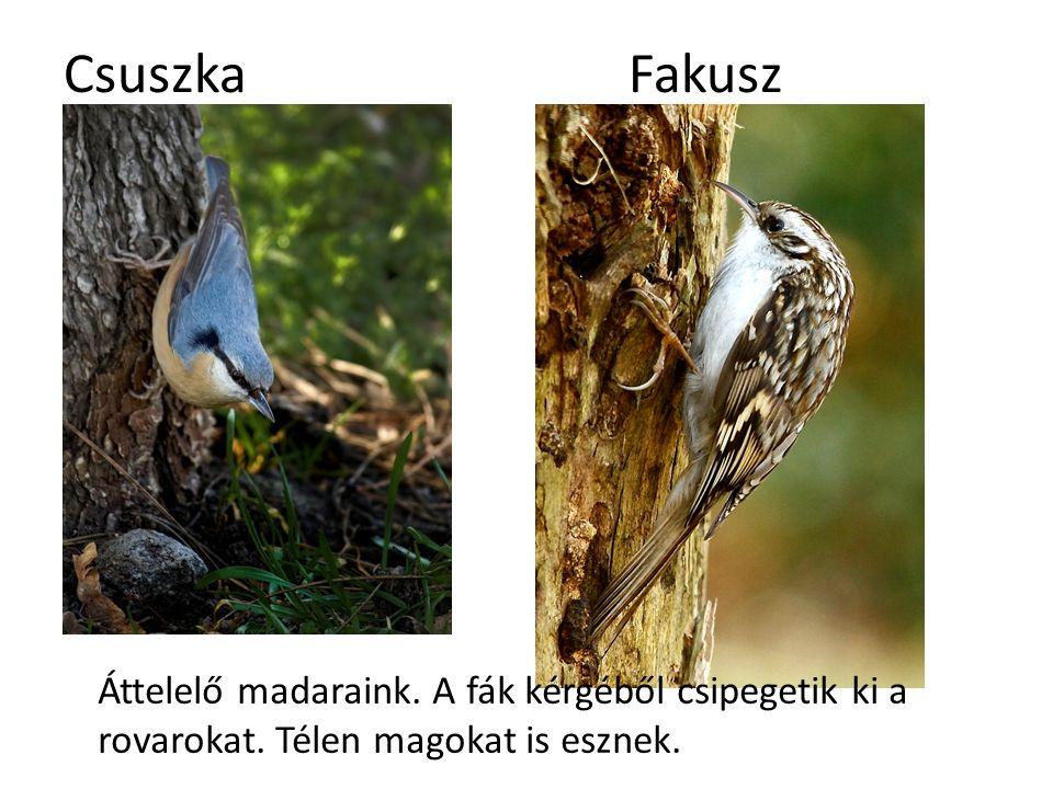 Csuszka Fakusz Áttelelő madaraink. A fák kérgéből csipegetik ki a rovarokat.