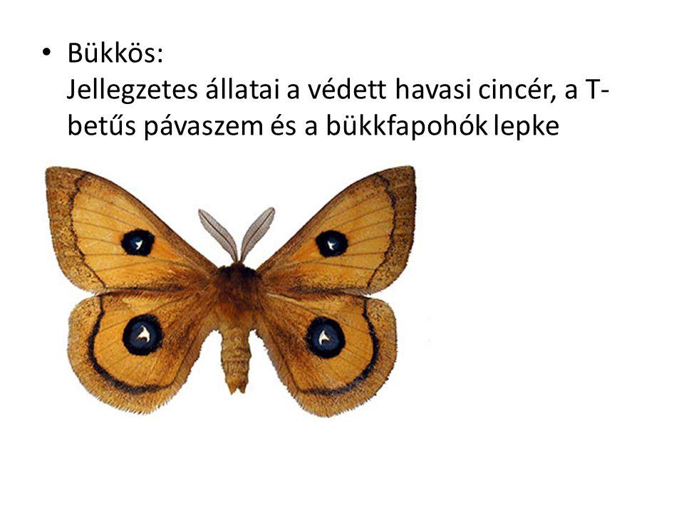 Bükkös: Jellegzetes állatai a védett havasi cincér, a T- betűs pávaszem és a bükkfapohók lepke