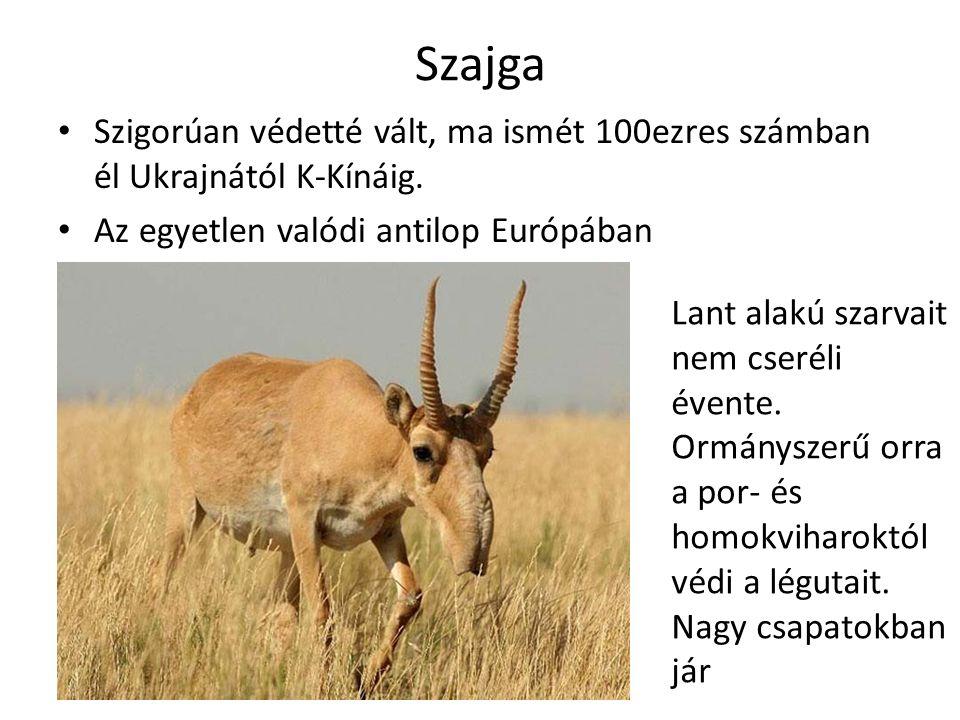 Szajga Szigorúan védetté vált, ma ismét 100ezres számban él Ukrajnától K-Kínáig.