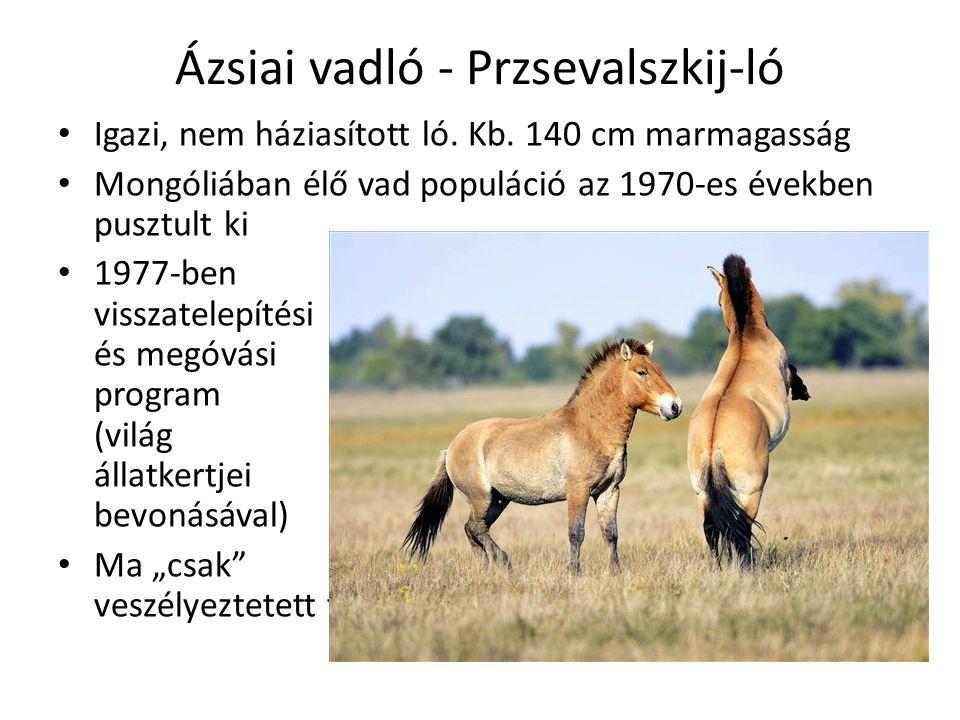 Ázsiai vadló - Przsevalszkij-ló Igazi, nem háziasított ló.