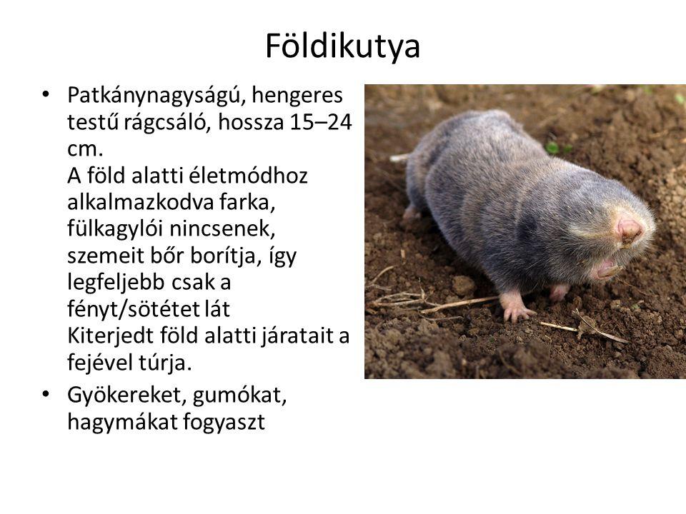 Földikutya Patkánynagyságú, hengeres testű rágcsáló, hossza 15–24 cm.