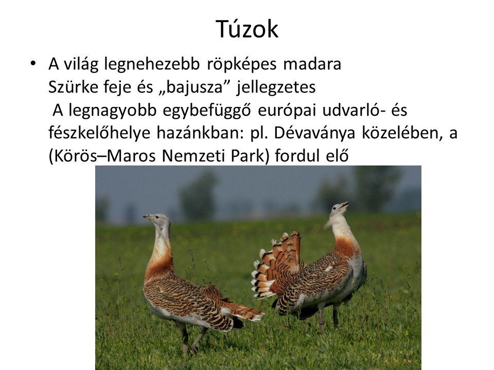 """Túzok A világ legnehezebb röpképes madara Szürke feje és """"bajusza jellegzetes A legnagyobb egybefüggő európai udvarló- és fészkelőhelye hazánkban: pl."""