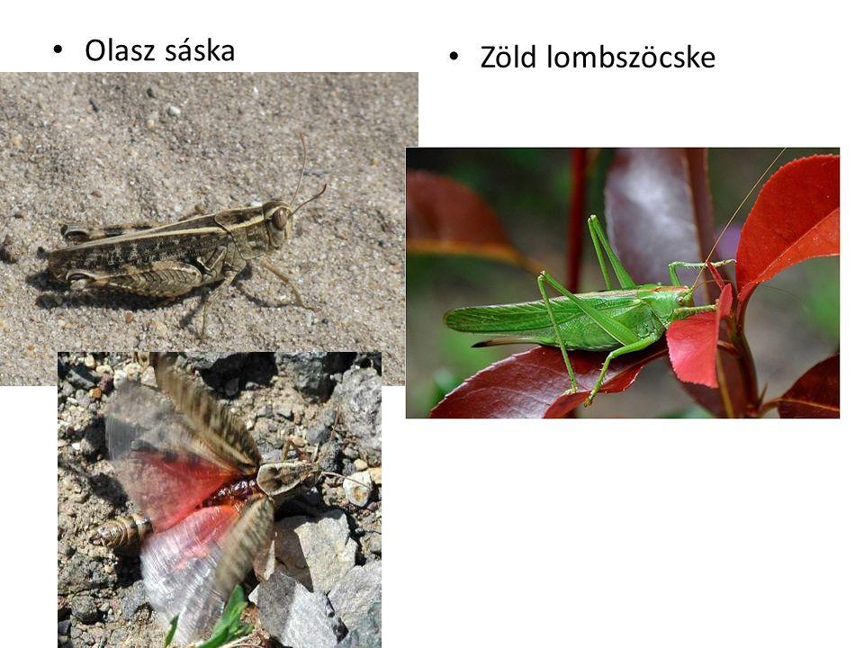 Olasz sáska Zöld lombszöcske