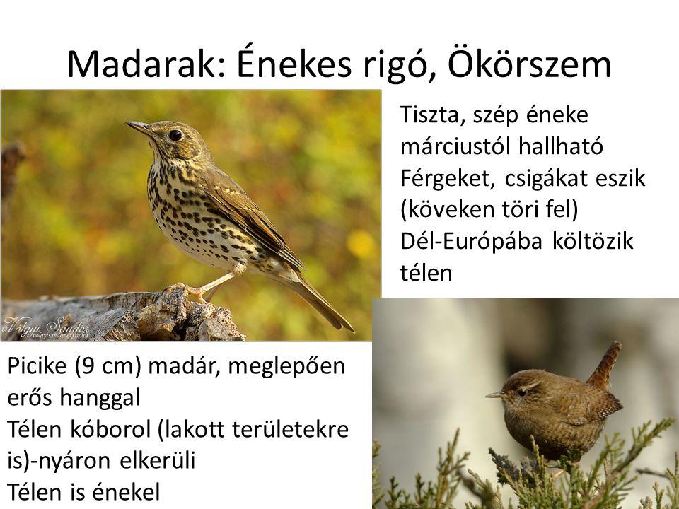 Madarak: Énekes rigó, Ökörszem Tiszta, szép éneke márciustól hallható Férgeket, csigákat eszik (köveken töri fel) Dél-Európába költözik télen Picike (9 cm) madár, meglepően erős hanggal Télen kóborol (lakott területekre is)-nyáron elkerüli Télen is énekel