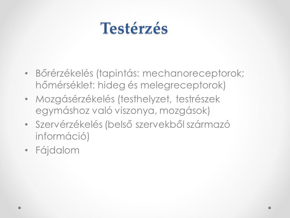 Ízlelés Érzékelés helye: a nyelven található ízlelőbimbók (kb.