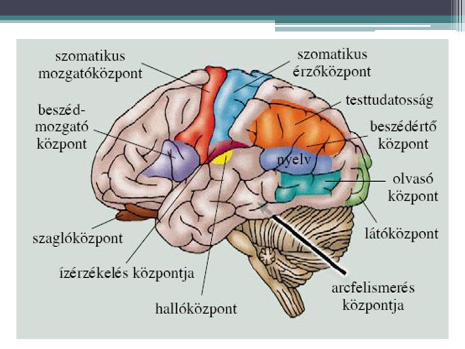 Az analizátorok általános felépítése Receptor érzőidegpálya megfelelő agykérgi központ ingeringerületérzéklet (pszichikus jelenség)