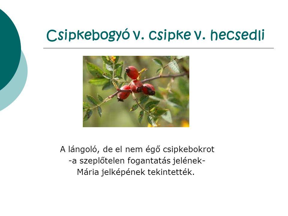 Csipkebogyó v.csipke v.