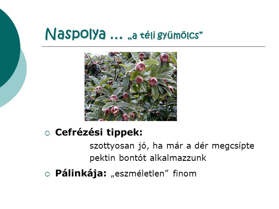 """Naspolya … """"a téli gyümölcs  Cefrézési tippek: szottyosan jó, ha már a dér megcsípte pektin bontót alkalmazzunk  Pálinkája: """"eszméletlen finom"""