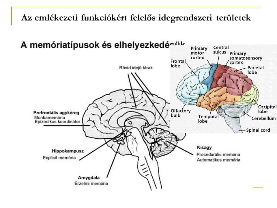 Az emlékezeti funkciókért felelős idegrendszeri területek